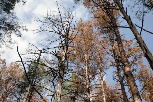 Чому гине ліс або чи буде Уряд боротися з короїдом?