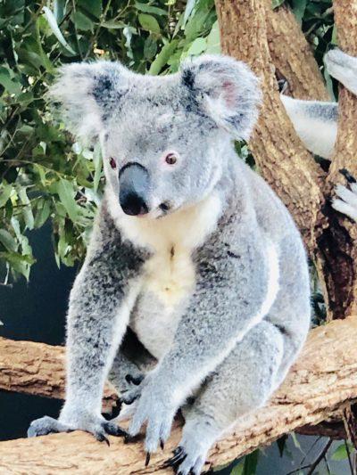 Лоун Пайн Коала, Австралія